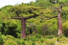 baobab french mountain