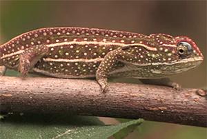 ankanini'ny nofy - endemic