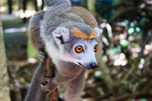 madabest-precious-tour-lemur