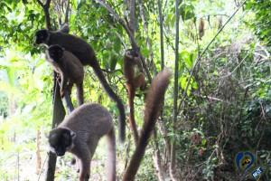nosy-be-lemurs